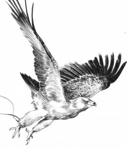 Aigle © Jean-Claude Servais / Dupuis